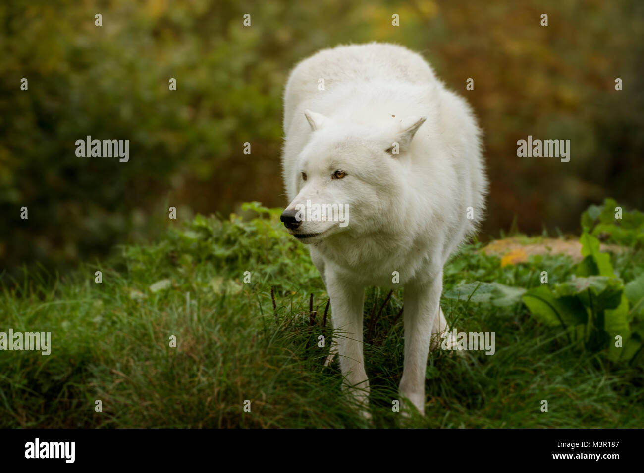 White artic wolf agains autum background - Stock Image