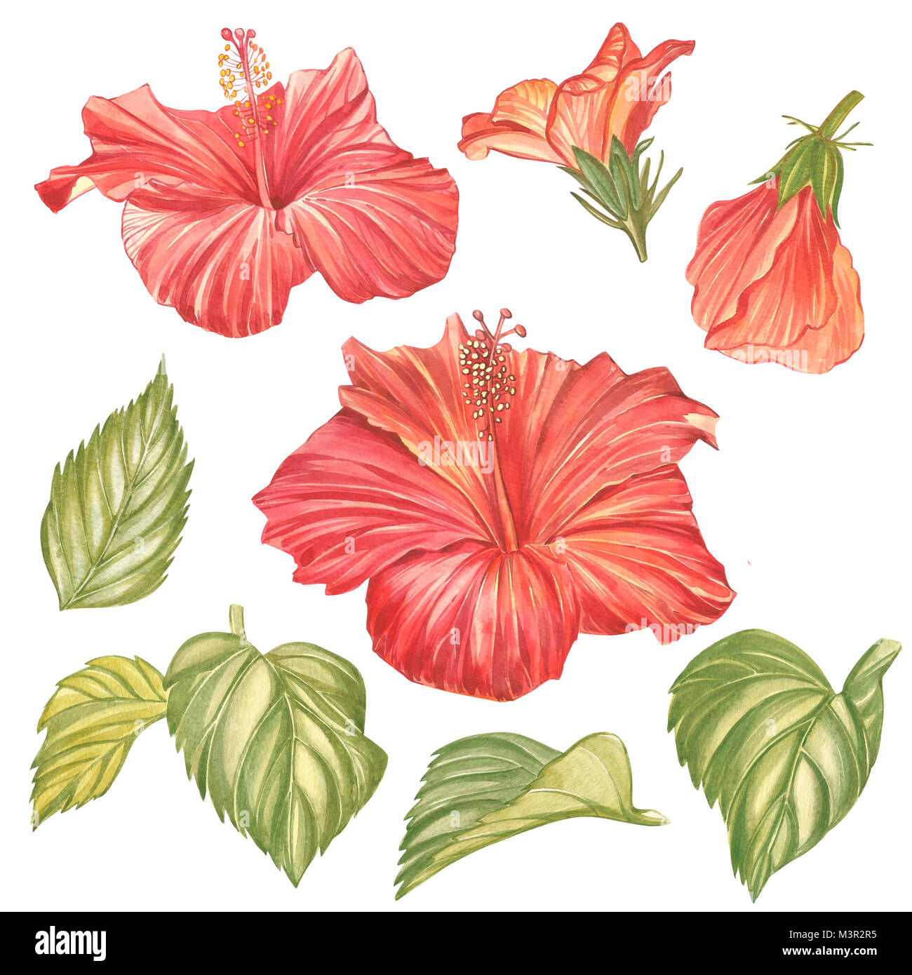 Red hibiscus flower isolated on white background watercolor red hibiscus flower isolated on white background watercolor tropical flower realistic colorful hibiscus with leaves flowery hawaiian composition izmirmasajfo