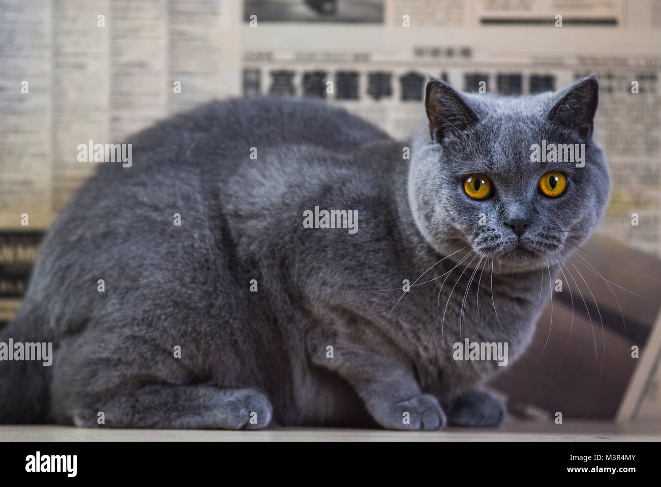 Portrait of a blue British cat at home. - Stock Image