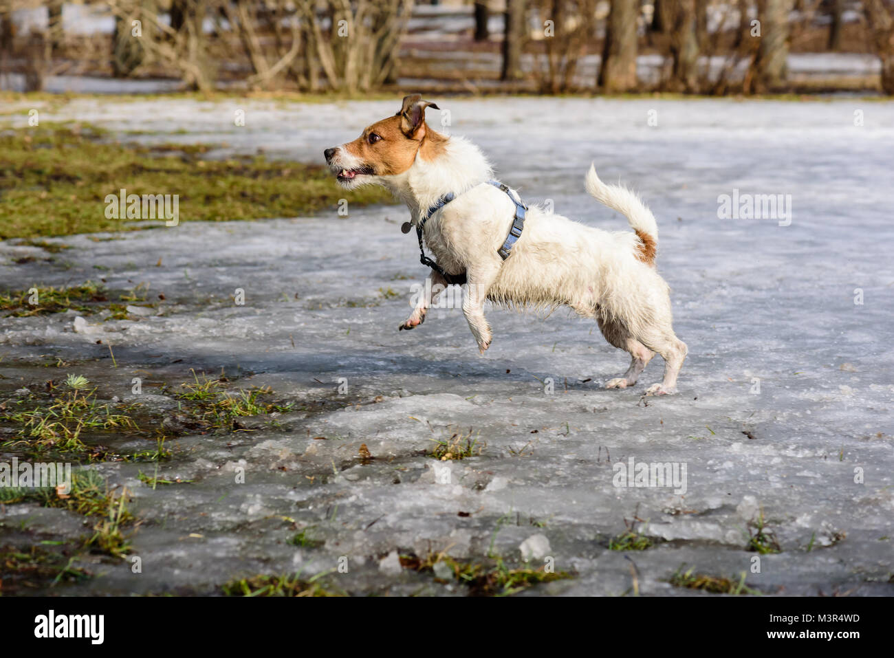 Fluffy dog playing on melting snow at spring park - Stock Image