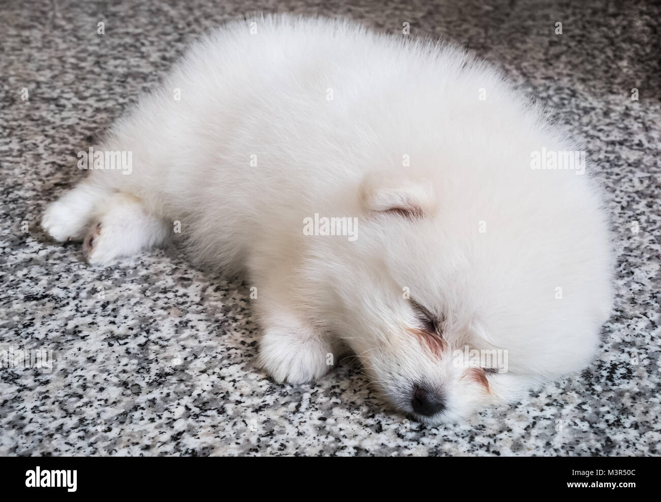 White Pomeranian Stock Photos & White Pomeranian Stock Images - Alamy