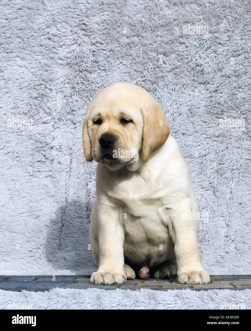 The Little Yellow Labrador Puppy Sitting On Grey Background Stock Photo Alamy