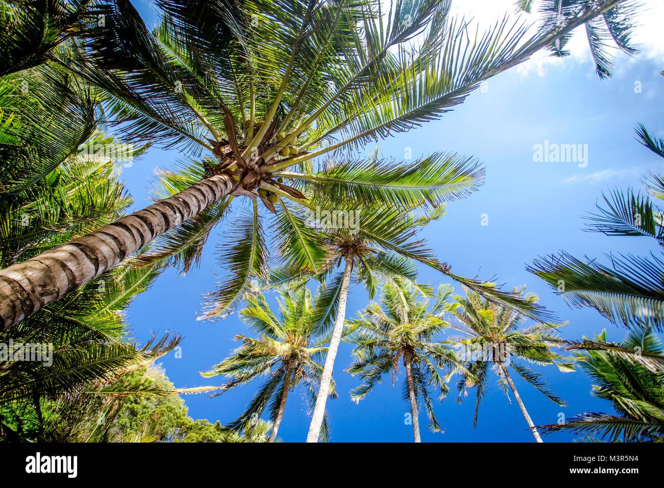 Tropical coconut palms against blue sky Stock Photo