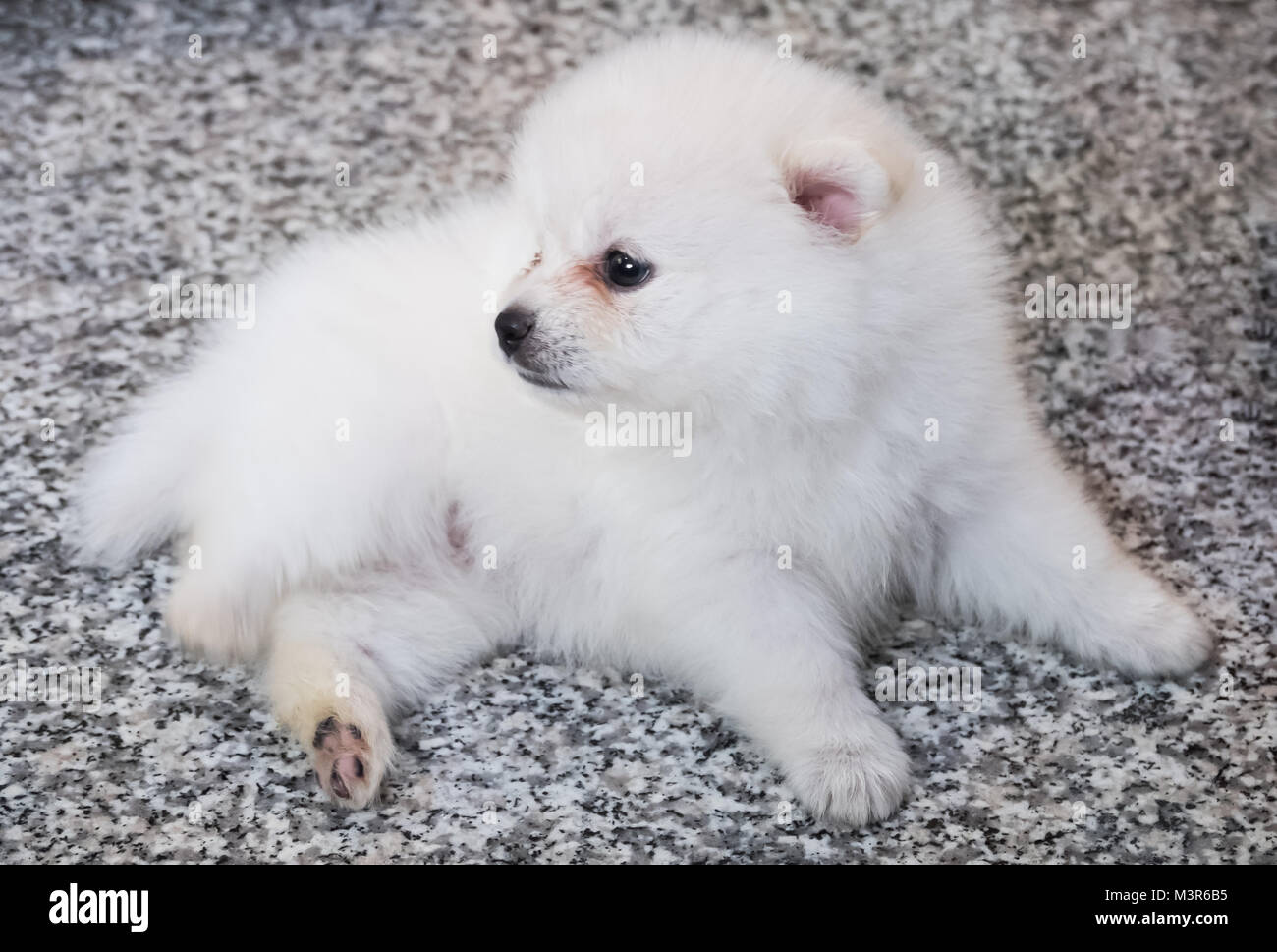 Cute White Pomeranian Puppy On Granite Background Stock Photo