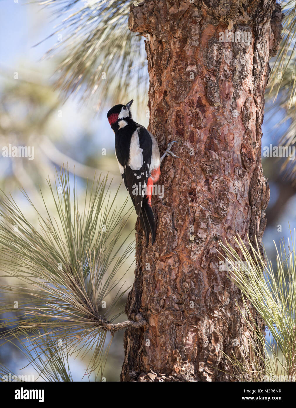 Male Great Spotted Woodpecker (Dendrocopos major Canariensis) on Canary pine tree (Pinus Canariensis) on Tenerife, - Stock Image