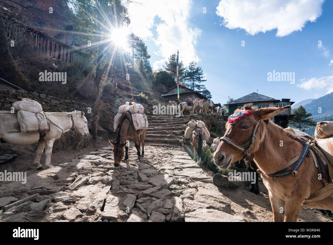 Horses and donkeys outside of Lukla, Nepal - Stock Image