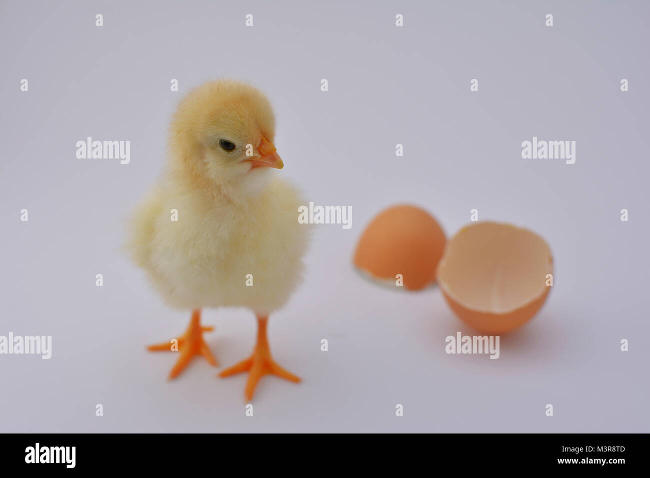Newborn chicken chick playing and enjoying with broken egg on white background - Stock Image