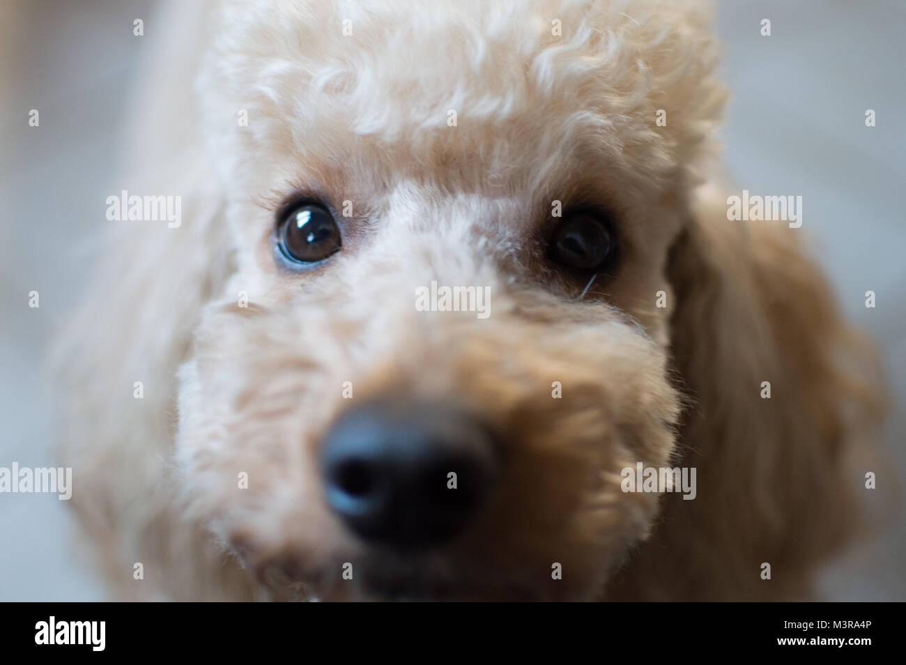 Good poodle boy - Stock Image