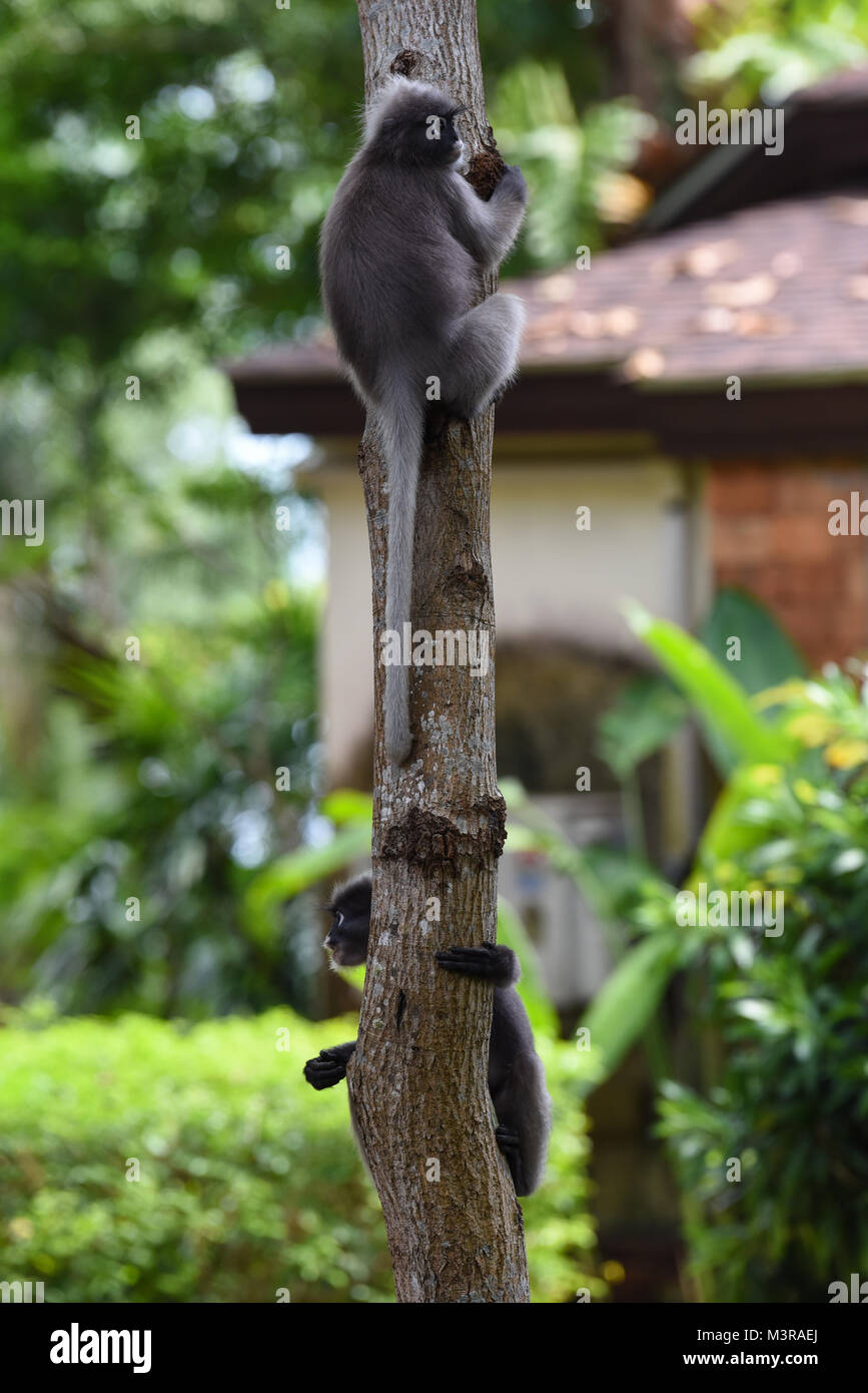 A pair of two cute Dusky Leaf Monkeys / Spectacled Langurs holding on to a tree in their natural habitat in Thailand - Stock Image