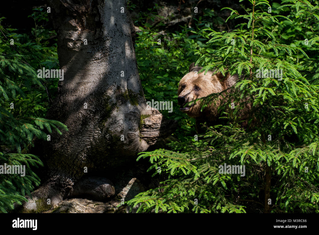Wild brown bear cubs playing in the Bavarian Forrest Stock Photo