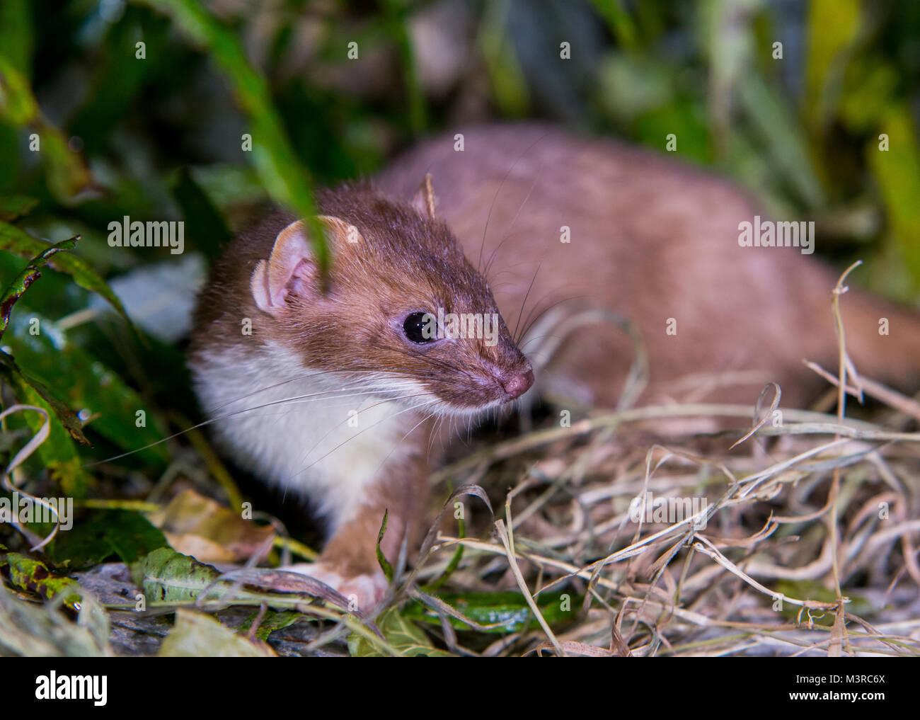 Weasel on rock looking upwards - Stock Image