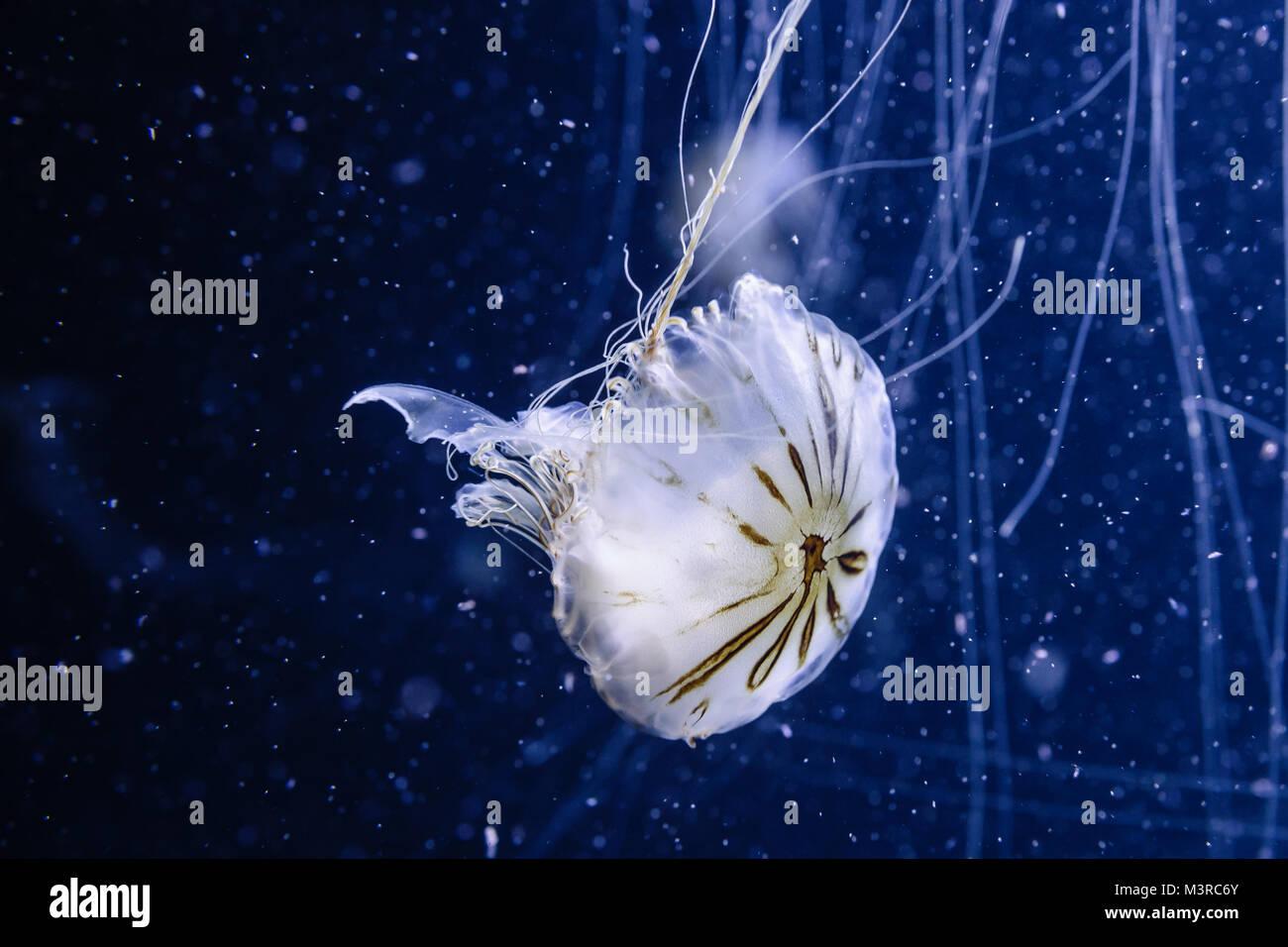 Kompassquallen, Chrysaora Hysoscella, Medusa de Compases Aquarium-Foto Stock Photo