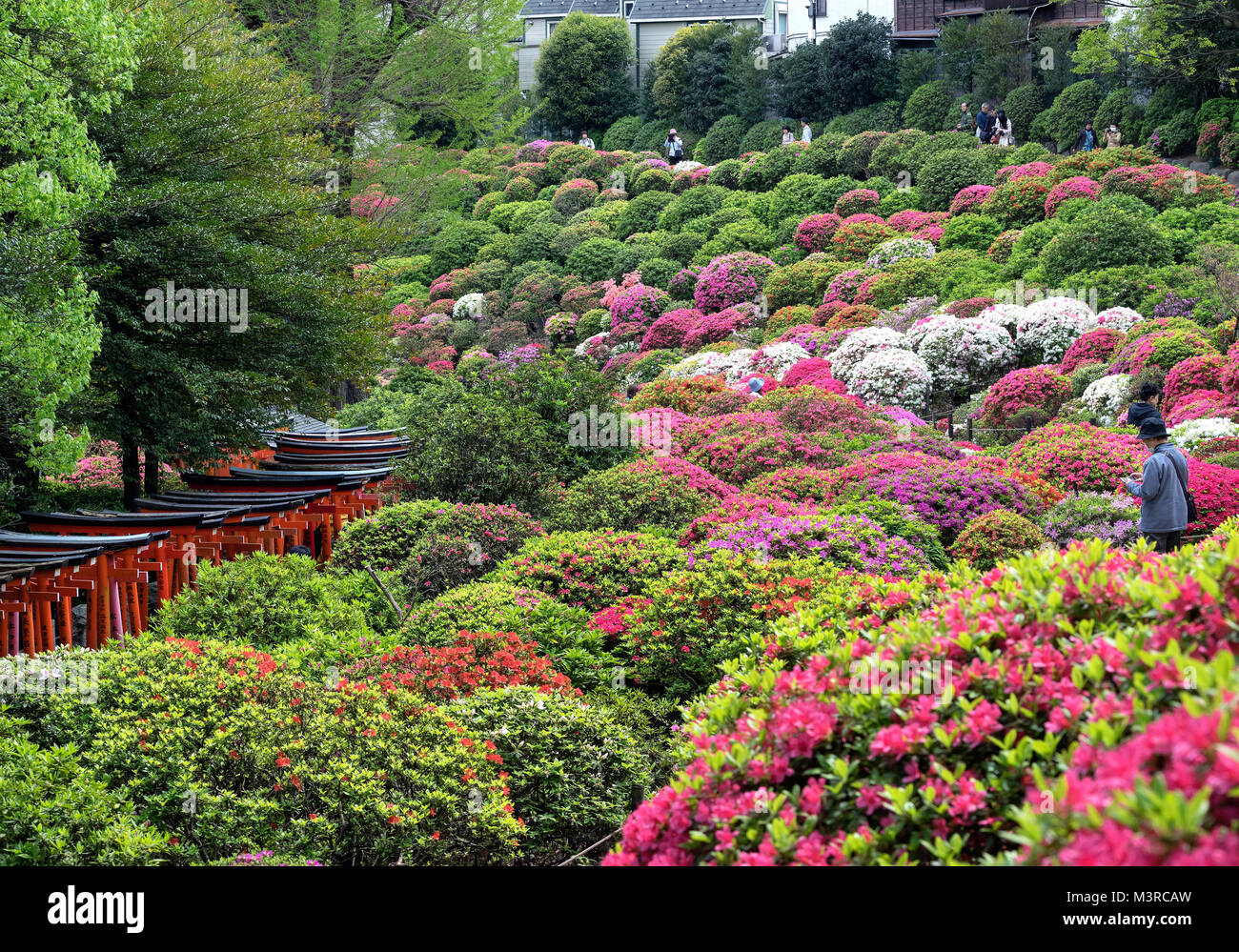Japan, Honshu island, Kanto, Tokyo, azalea festival at Nezu jinja shrine. - Stock Image