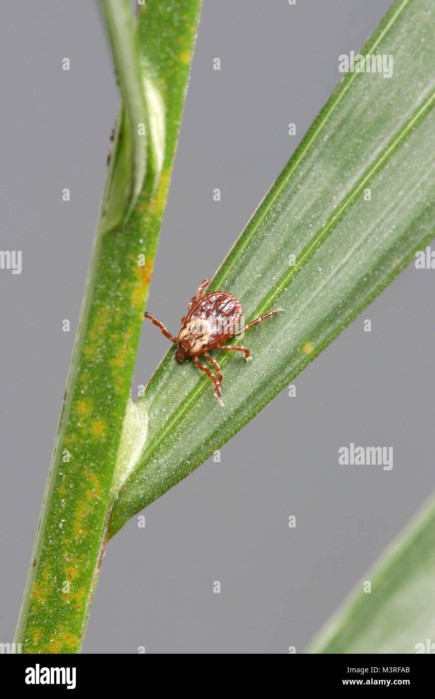 Dermacentor variabilis, also known as the American Dog Tick on a plant - This species of tick is known to carry - Stock Image