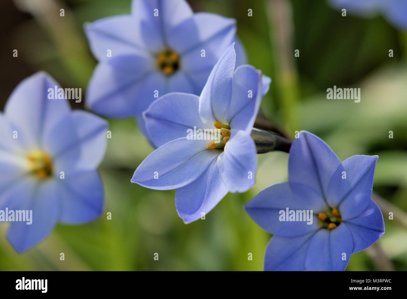 "Pale Blue Ipheion uniflorum 'Rolf Fiedler', commonly known as ""spring starflower"" Stock Photo"