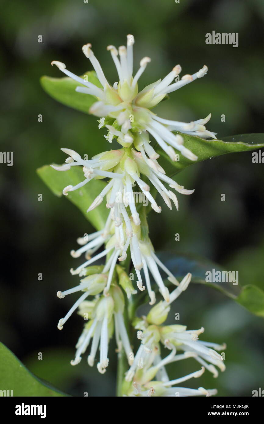 Sarcococca wallichii, also called Christmas box or Sweet box, in flower in a UK winter garden - Stock Image