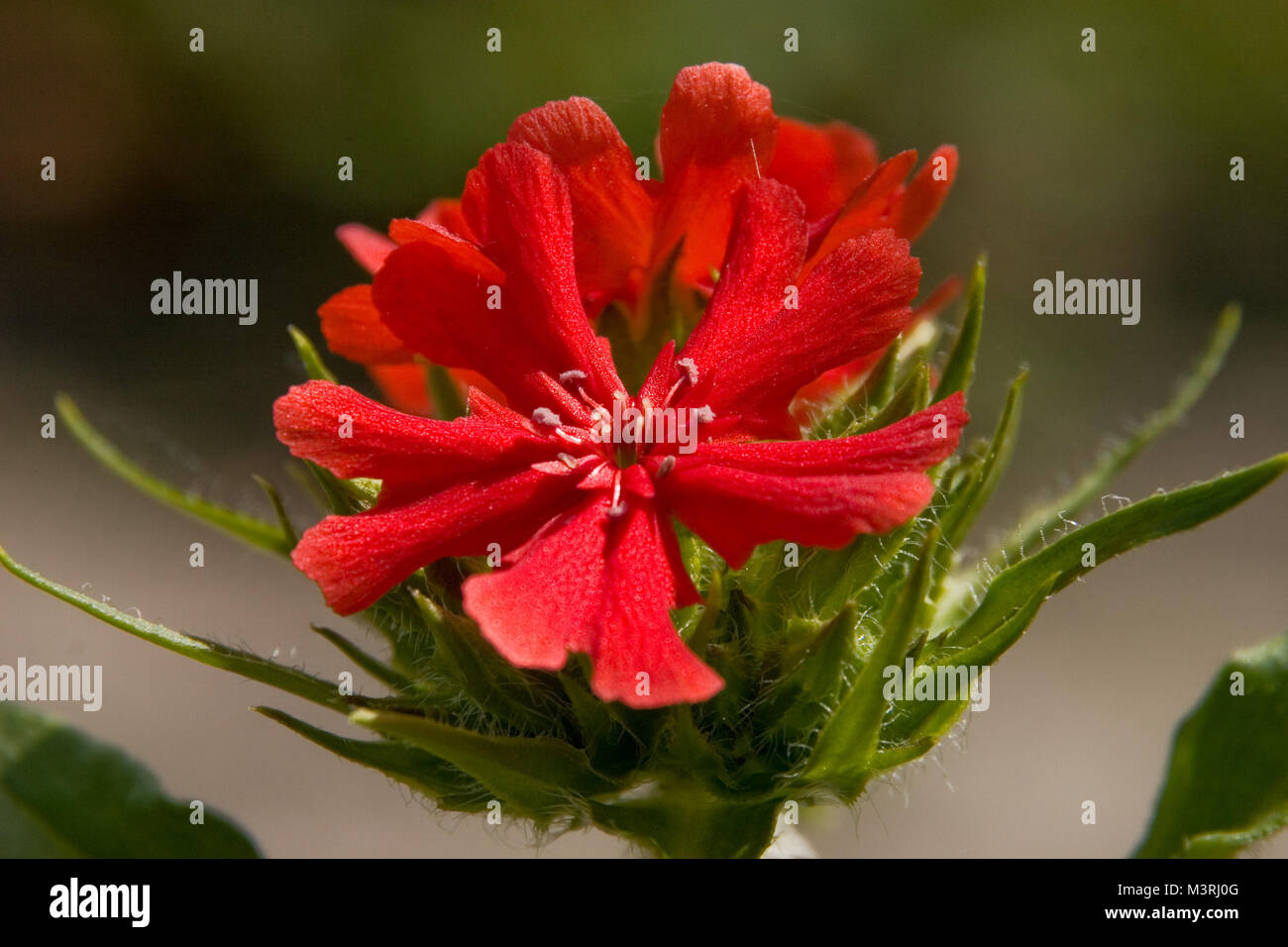Spiky red flower stock photos spiky red flower stock images alamy vivid red flower macro in the sun with beautiful petals and stamens sharp focus on mightylinksfo