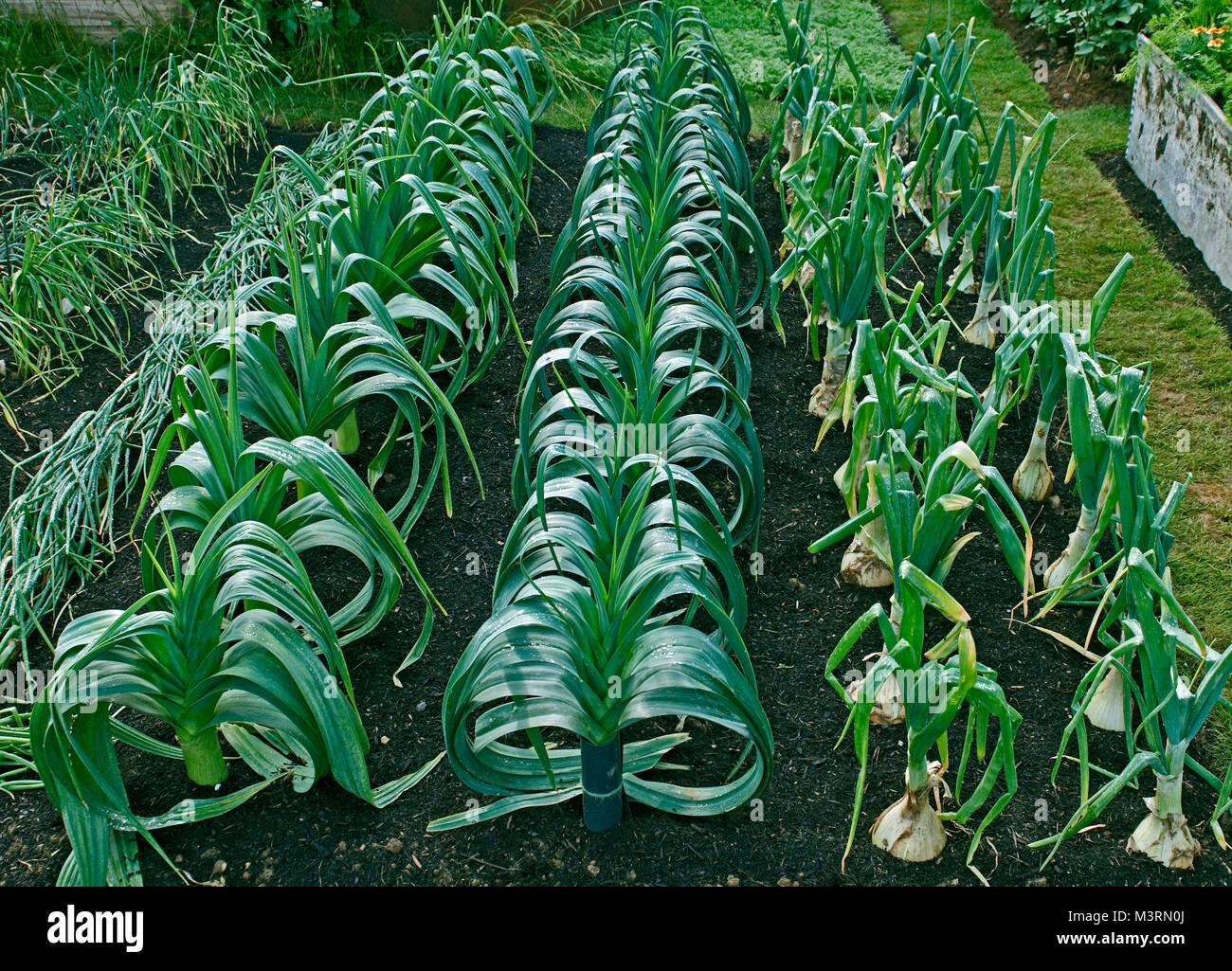 Rows of leeks left Pot Leek 'Yorkshire Green' centre Blanch Leek 'Steve's selected' and left - Stock Image