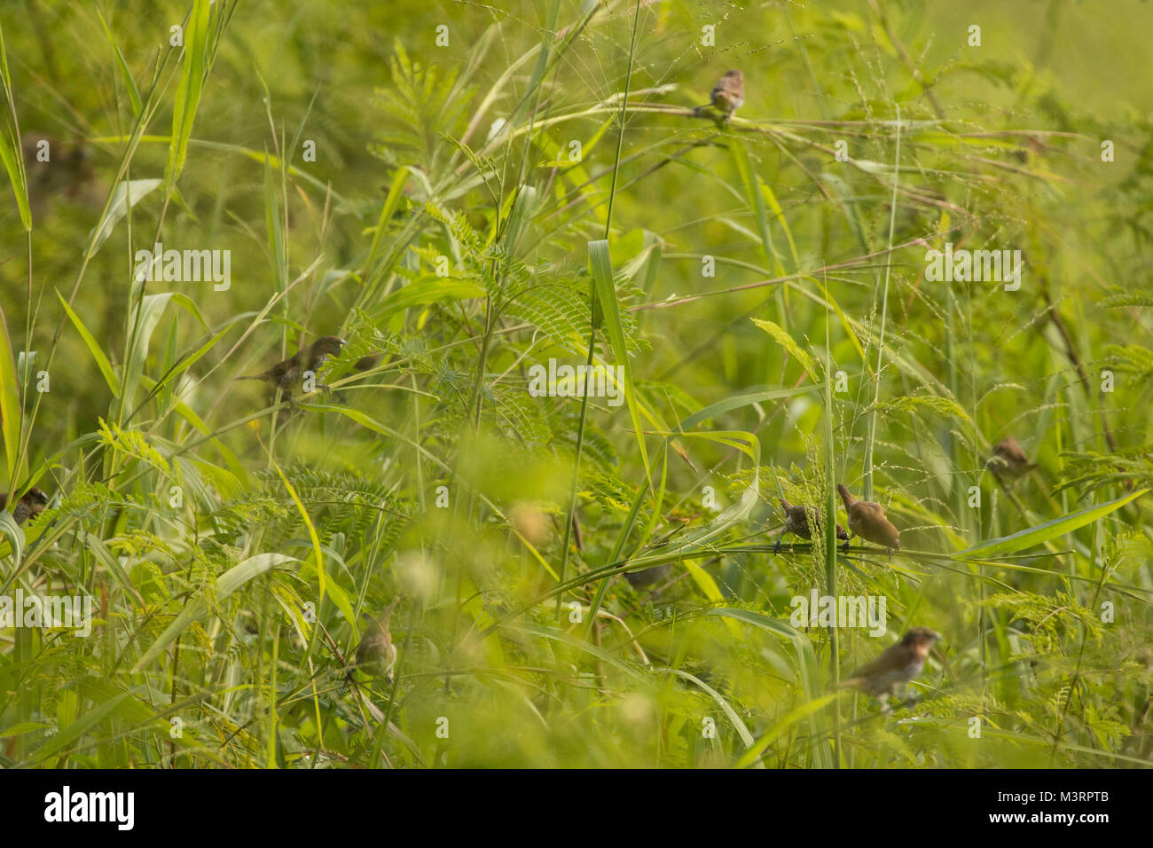 Small birds feeding on the seeds of the long meadow grass of Ocho Rios, Jamaica, West Indies, Caribbean - Stock Image