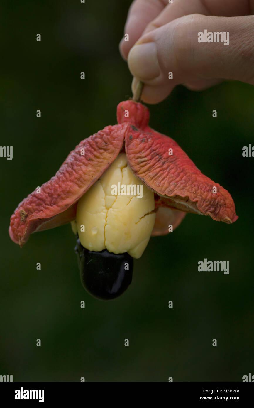 Ackee pod still-life photograph Stock Photo