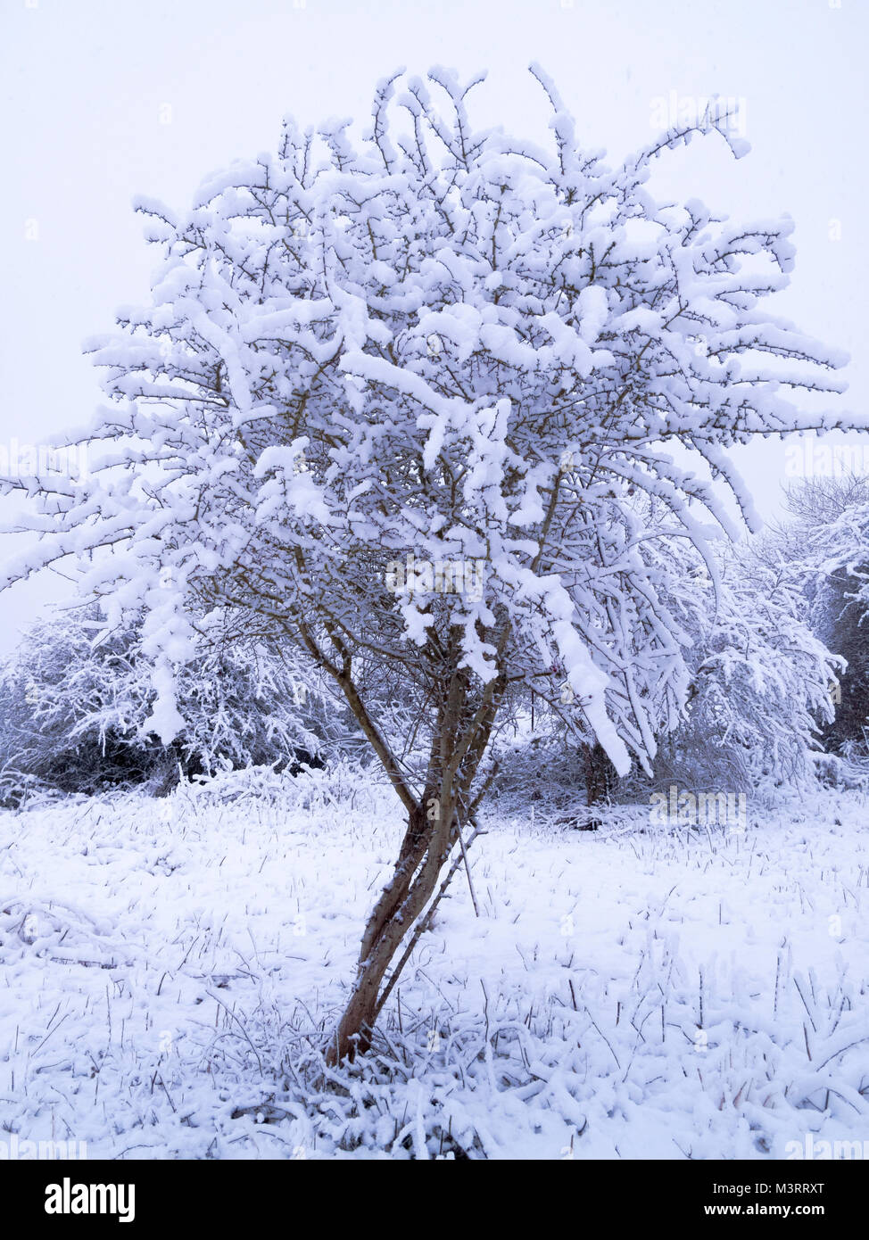 Snow covered hawthorn tree - Stock Image