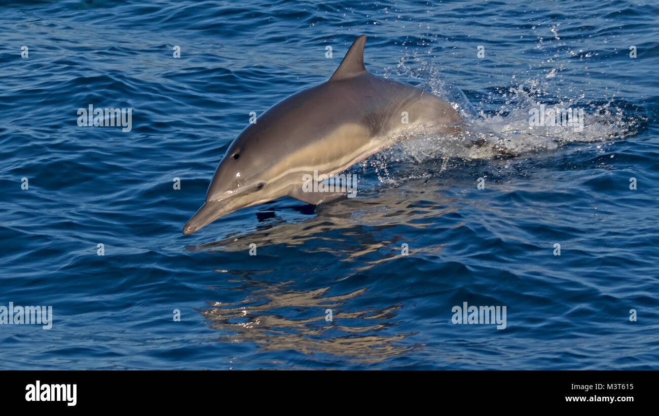 Dolphin leaping out of the Pacific Ocean - Stock Image