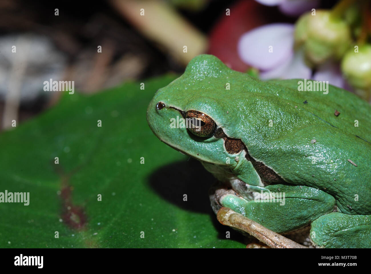 close-up of a green tree frog close - Stock Image