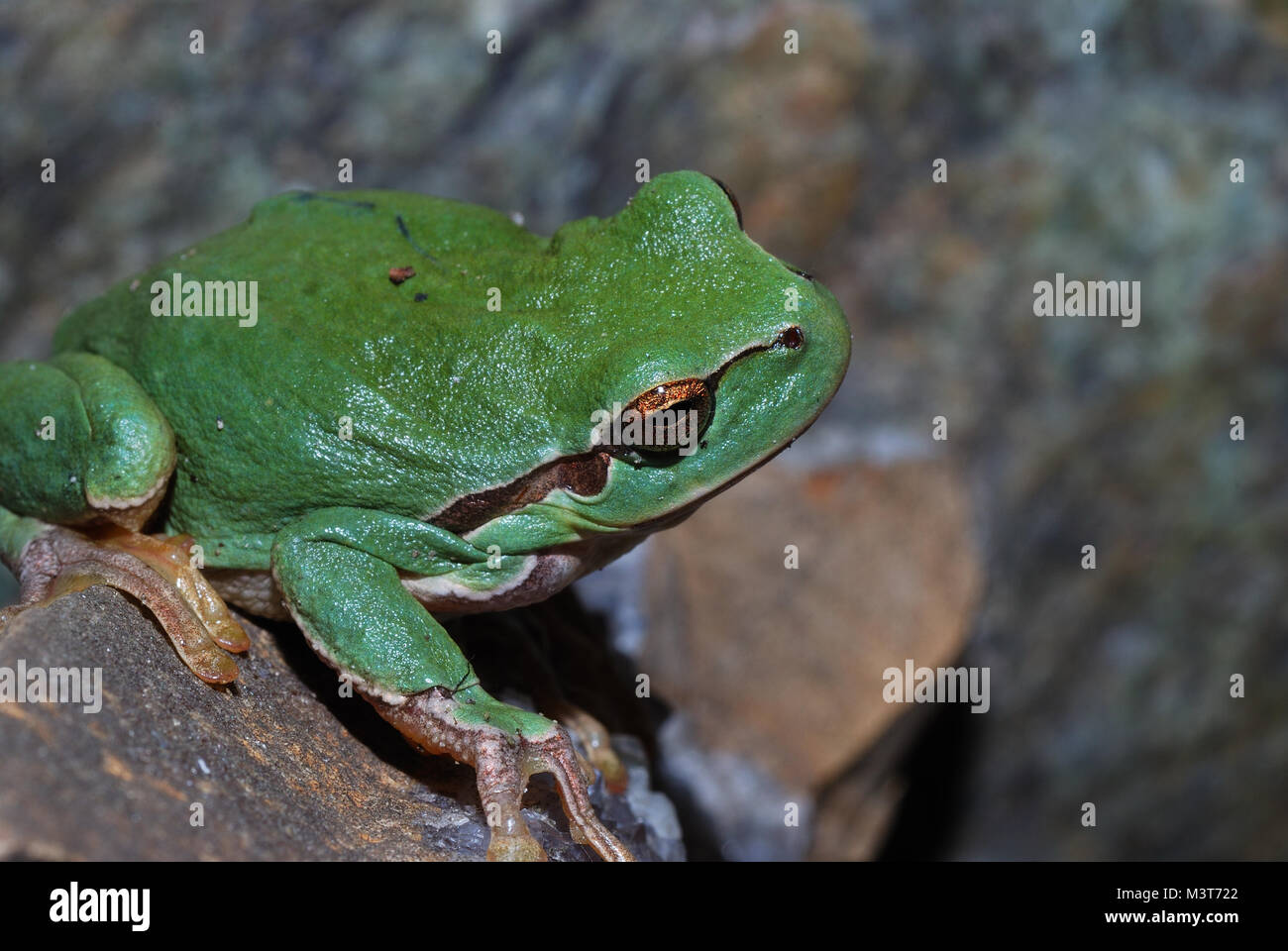 little green frog is sitting on a stone - Stock Image