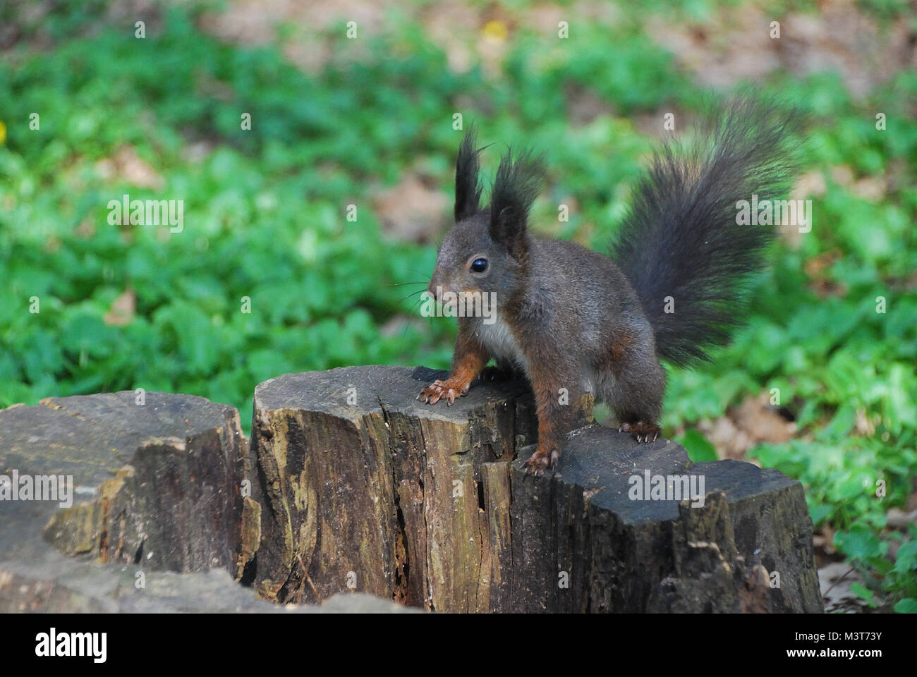 little squirrel sitting on a tree stump - Stock Image