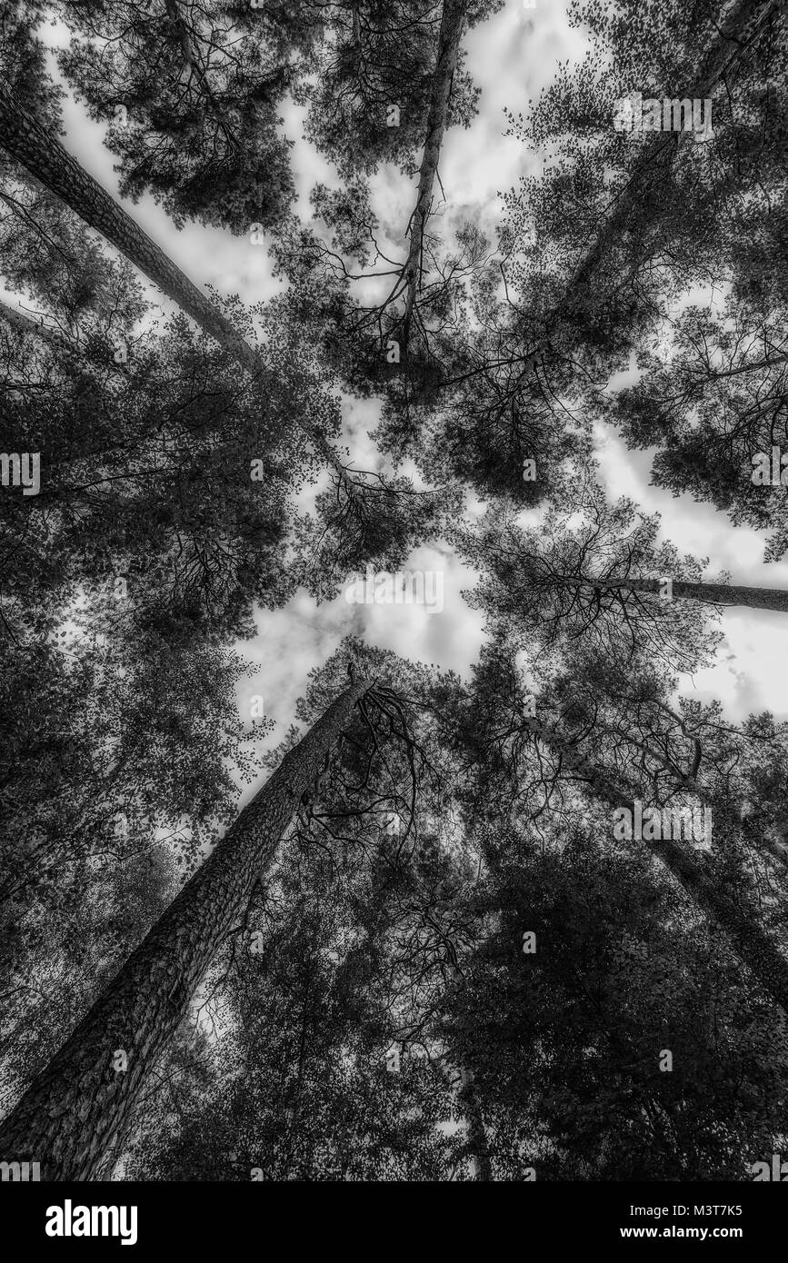 pine tree tops in the middle of the forest - Stock Image