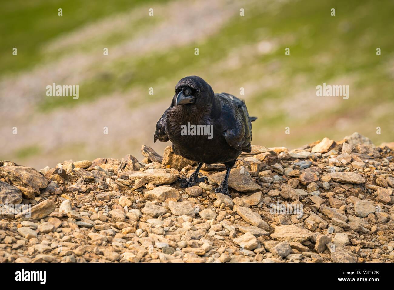 A black raven on the Llanberis Path, Snowdonia, Gwynedd, Wales, UK - Stock Image