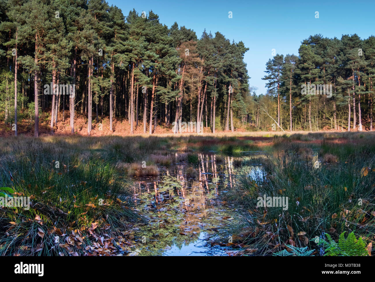 Doolittle Moss SSSI in Delamere Forest, Delamere, Cheshire, England, UK - Stock Image