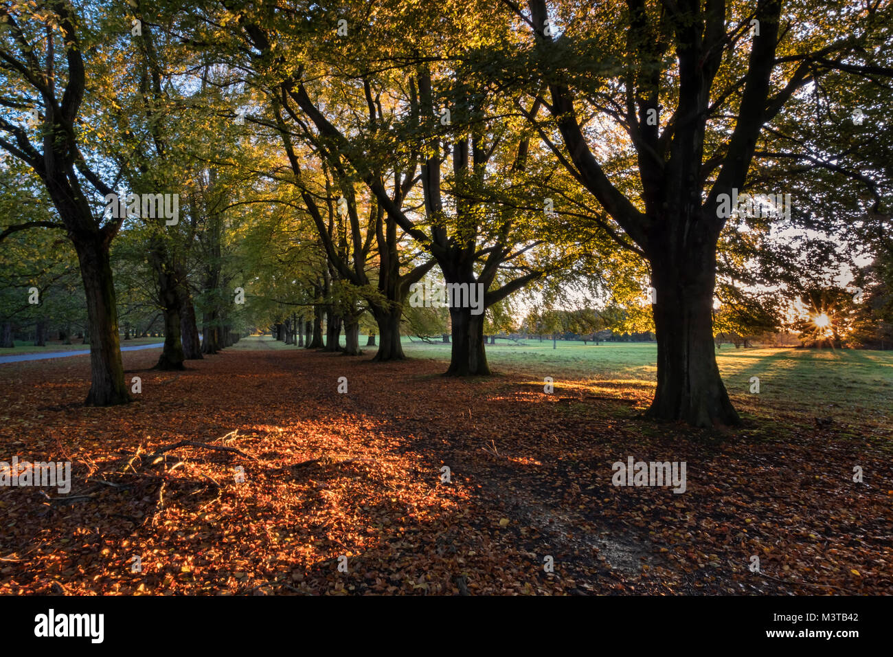 Between the Beeches, Autumn Beech Tree Avenue in Tatton Park, near Knutsford, Cheshire, England, UK - Stock Image