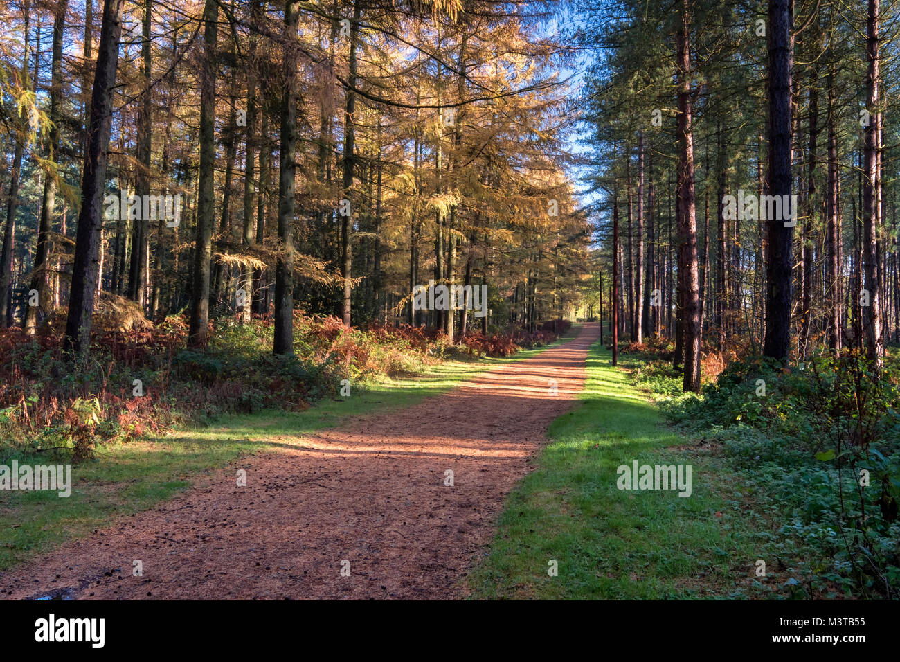 Autumn in Delamere Forest, Delamere, Cheshire, England, UK - Stock Image
