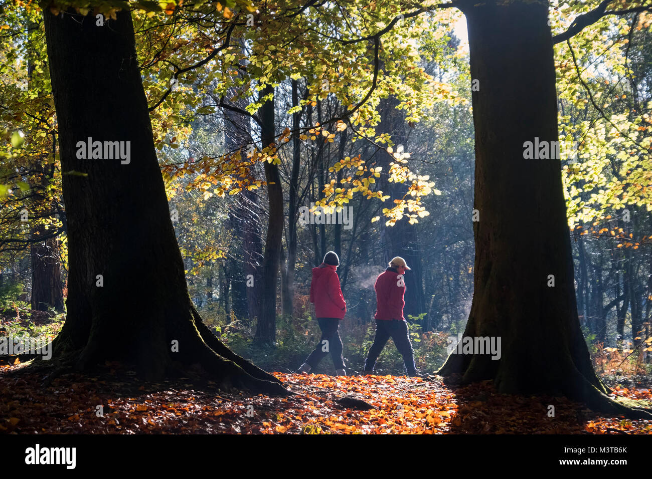 Autumn Walk, Delamere Forest, Delamere, Cheshire, England, UK - Stock Image
