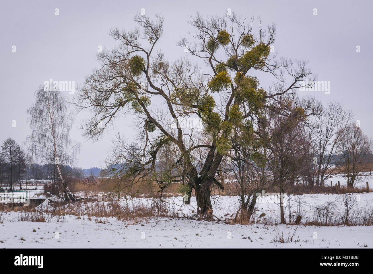 Mistletoe on a tree in Soce village in Podlaskie Voivodeship of northeastern Poland - Stock Image