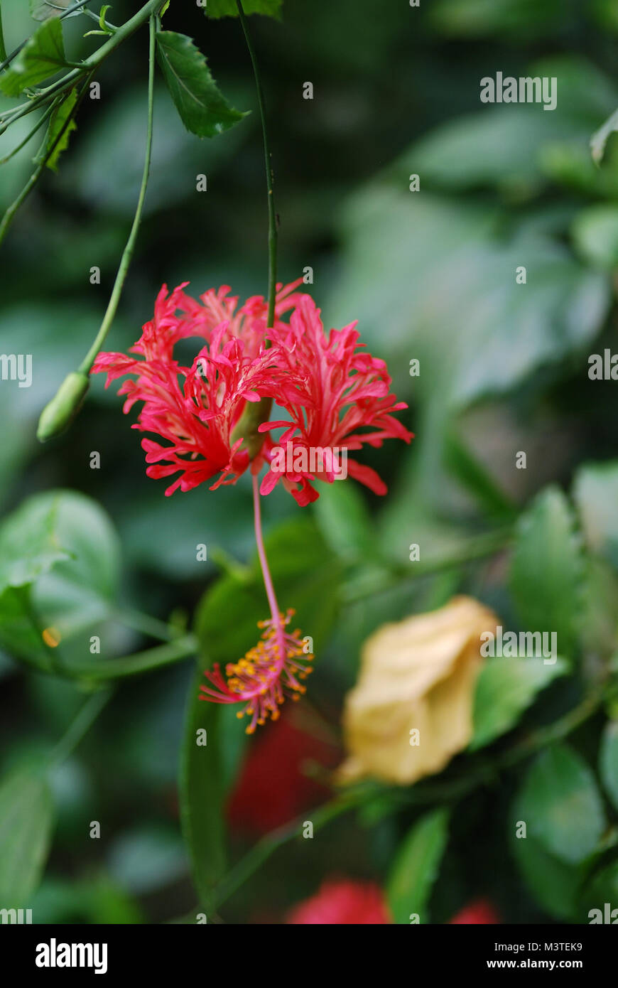 beautiful colorful red flower from the hochformat rainforest - Stock Image