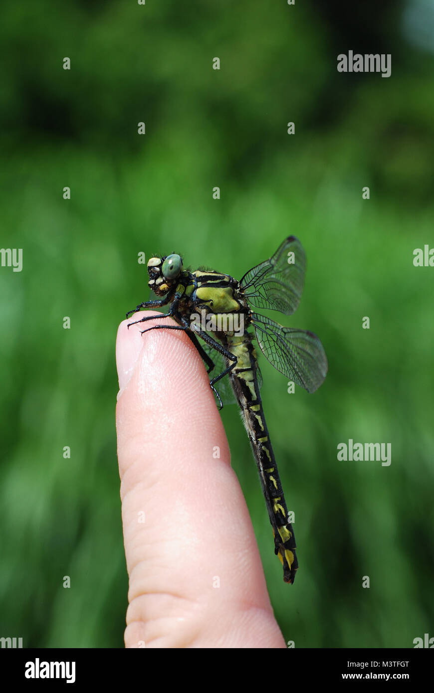 large dragonfly sitting on a finger in the garden hochformat - Stock Image