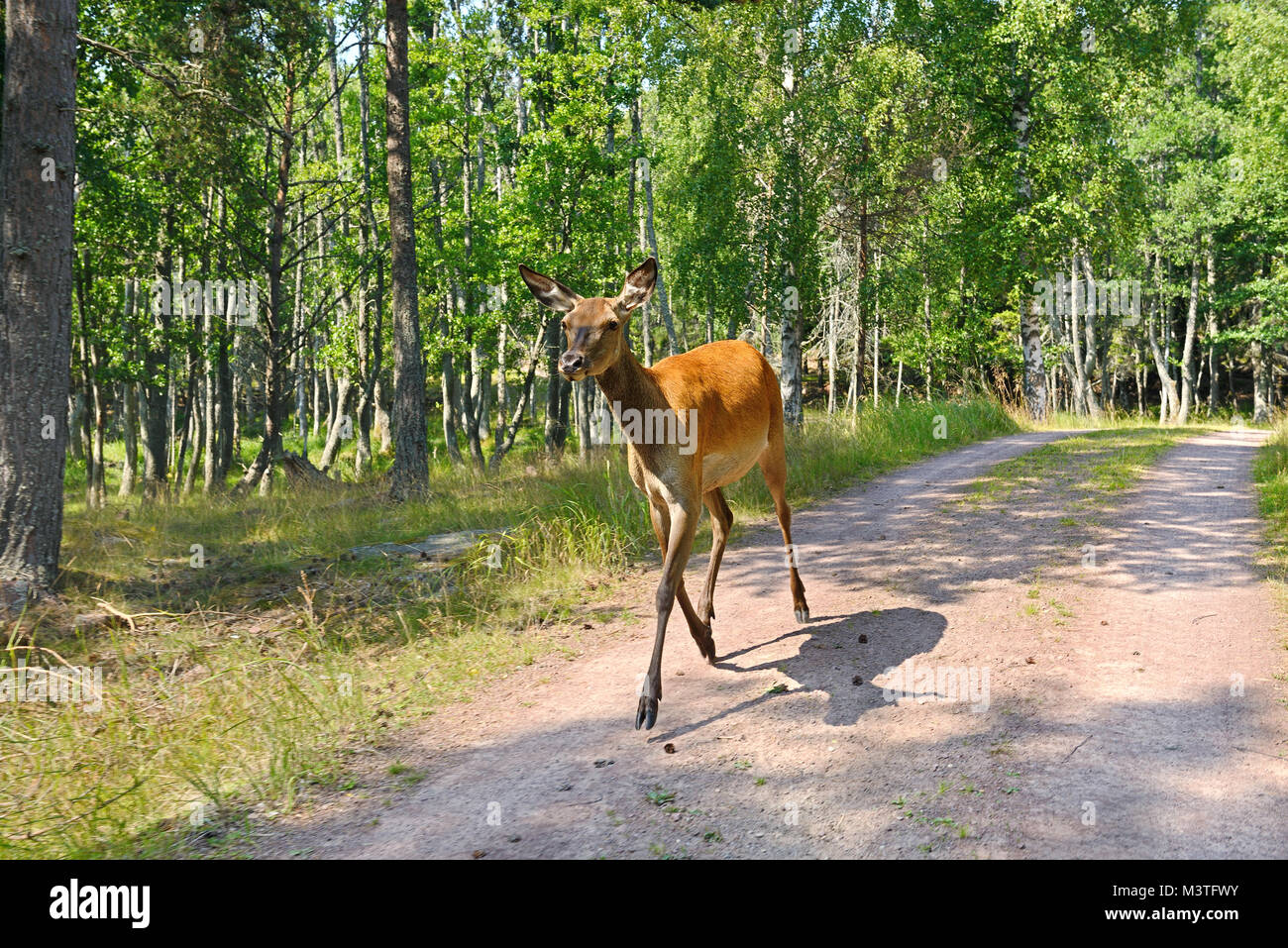 Red deer (Cervus elaphus), Female (hind), runs along country road - Stock Image