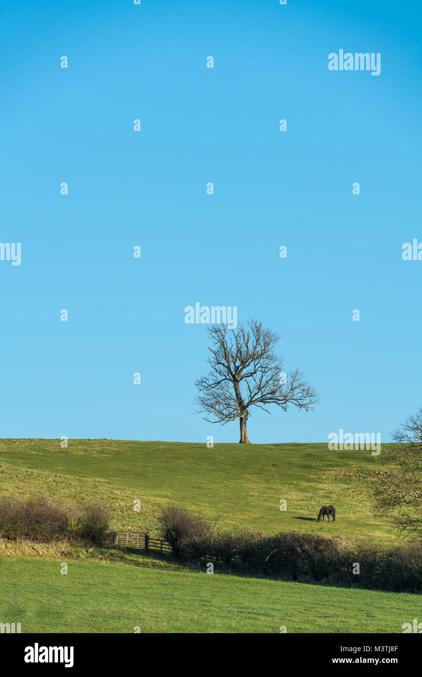 Single leafless tree on horizon in winter with grazing bay horse - Stock Image