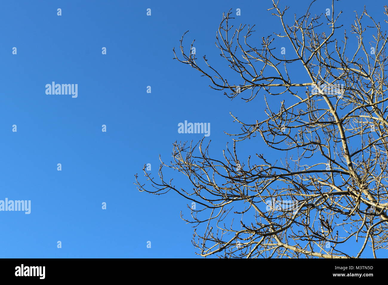 Winter trees, bare branches, blue sky - Stock Image
