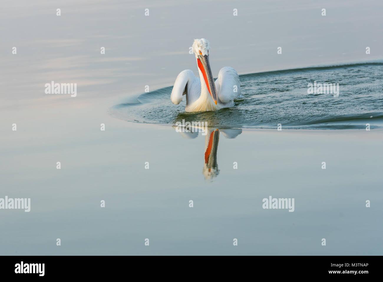 A dalmatian pelican - Stock Image