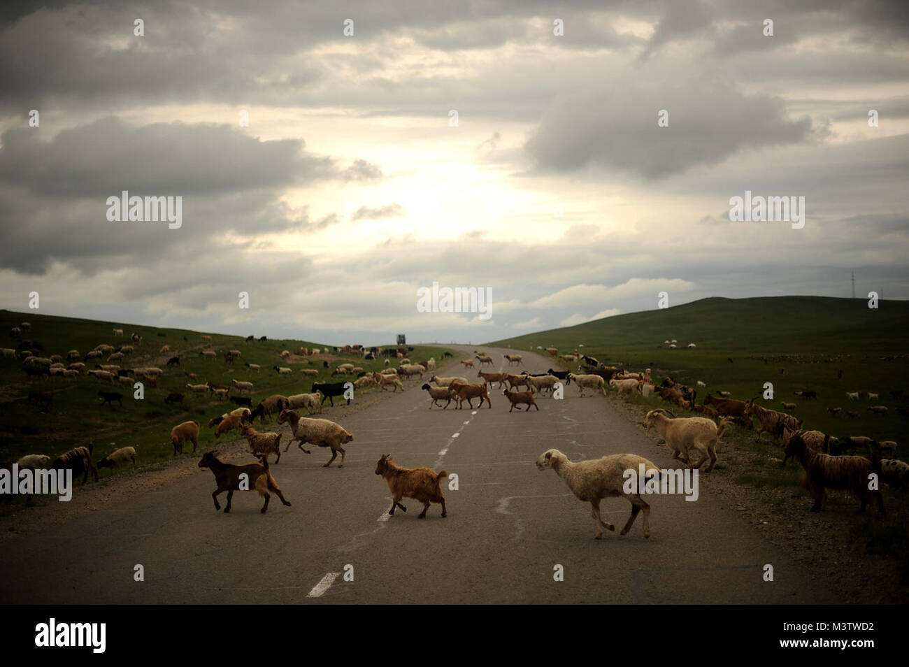 A flock of sheep cross a road in northeastern Mongolia. Mongolia is the land of livestock with more than 30 million - Stock Image