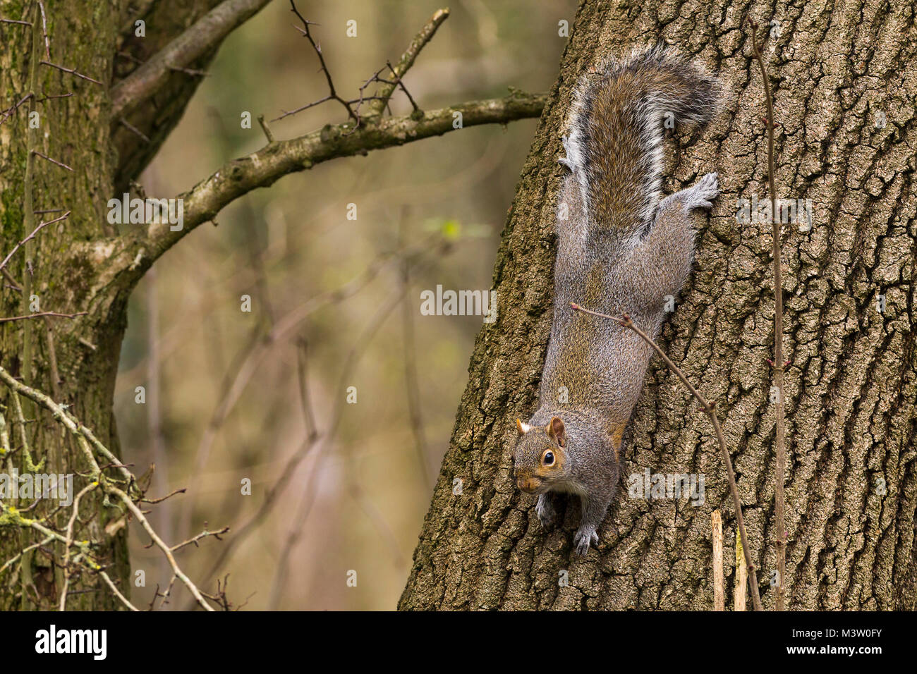 This image of a grey squirrel traveling down a tree shows the back feet are swivelled 180 degrees to maintain a - Stock Image