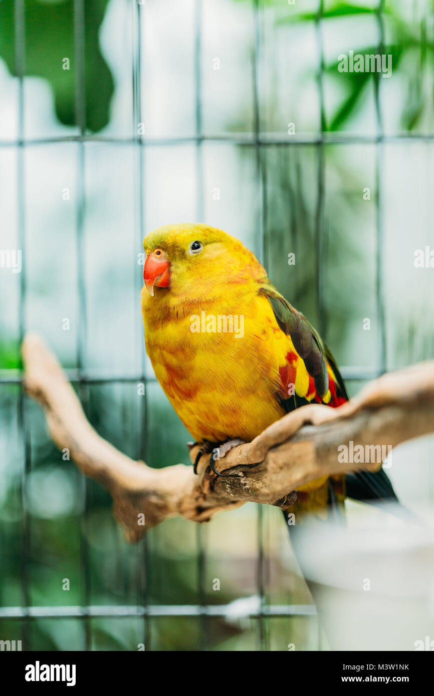 Yellow Regent Parrot Or Rock Pebbler In Zoo. Birds Can Be Trained.Wild Bird In Cage. - Stock Image