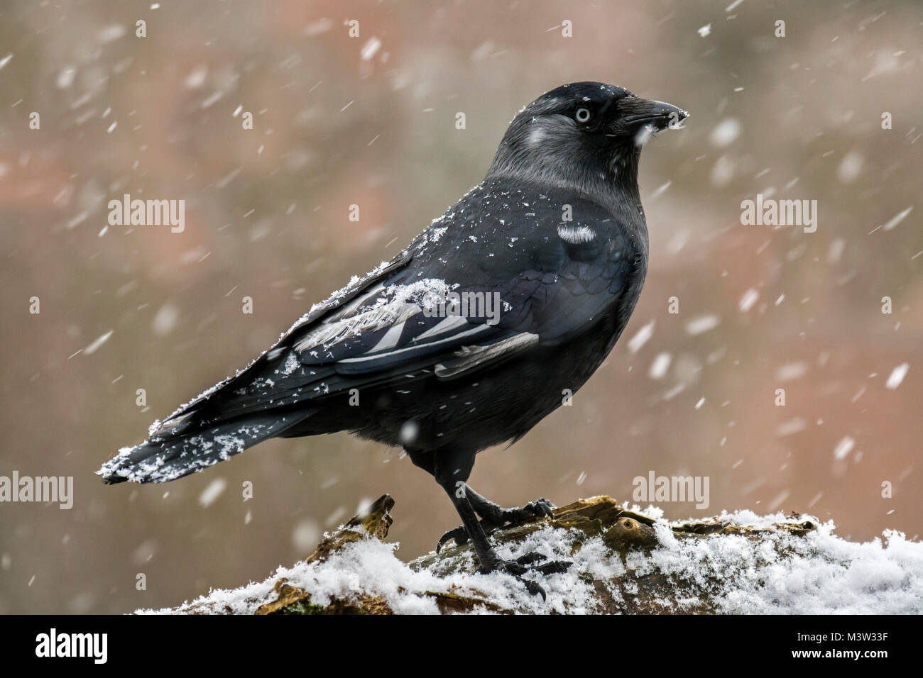 Leucistic Western jackdaw / European jackdaw (Corvus monedula / Coloeus monedula) during snow shower in winter - Stock Image