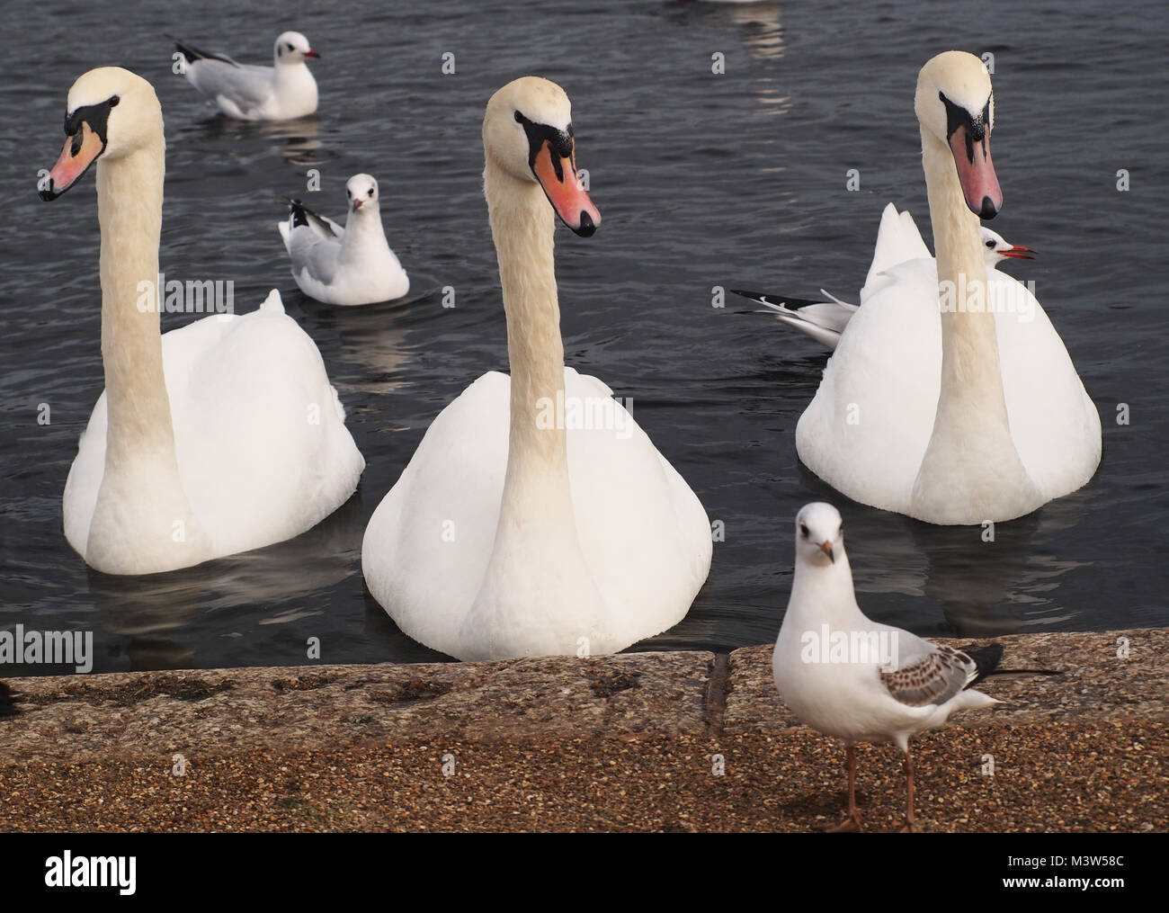 Three swans and terns looking and waiting for food at the edge of a lake in Kensington Gardens, London - Stock Image