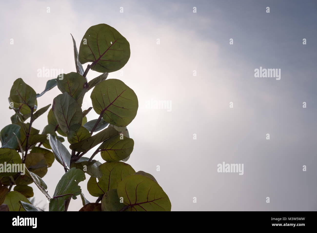Leaves with stem, Isolated with Grey sky in background - Stock Image
