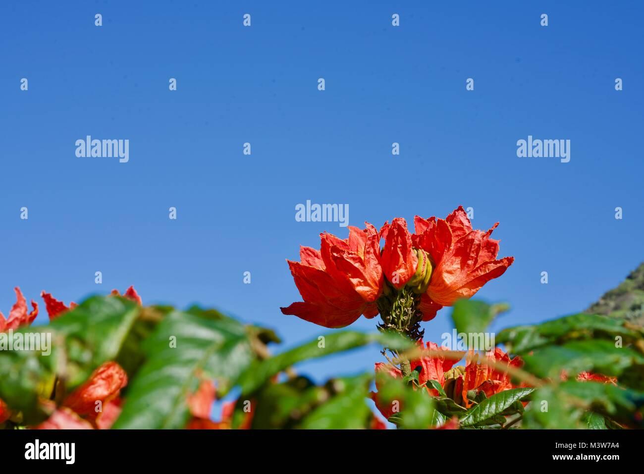 closeup of a brillant blossom of a tulip tree - Stock Image