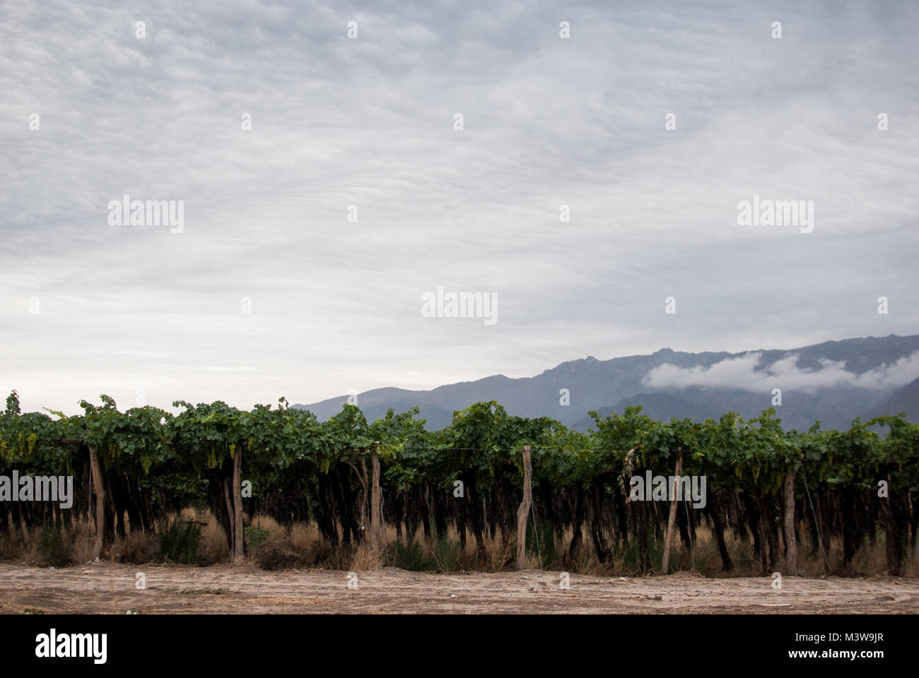 A rustic vineyard full of grapevines below a cloudy sky in Mendoza, Argentina - Stock Image